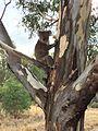 Koala at the Narrandera Wetlands.jpg