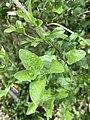 Koanophyllon villosum 02.jpg