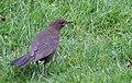 Koltrast Blackbird (13896262270).jpg