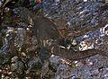 Komodo Dragon Varanus komodoensis (7881446152).jpg