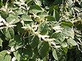 Korina 2011-09-11 Fallopia japonica 2.jpg