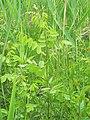 Korina 2012-06-06 Amorpha fruticosa.jpg