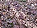 Korina 2013-03-05 Mahonia aquifolium 4.jpg