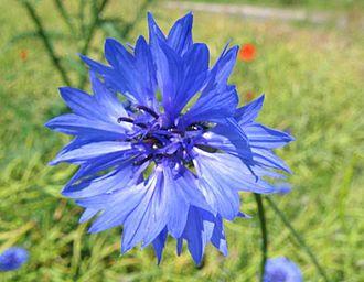 German nationalism in Austria - A blue cornflower, the symbol of the pan-Germanist movement in Austria
