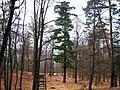 Krausnicker-Berge-Pinus-strobus-01.jpg