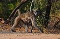 Krugerův národní park, opice (monkey) - Jihoafrická republika - panoramio.jpg