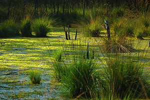 Ведь у нас даже болото - прекрасно!  Сестрорецк в опасности.