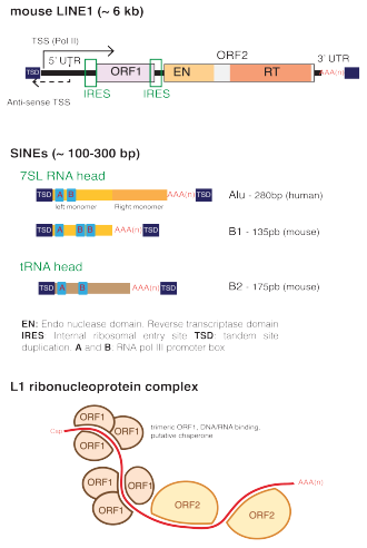 Long interspersed nuclear element - Genetic structure of murine LINE1 and SINEs. Bottom: proposed structure of L1 RNA-protein (RNP) complexes. ORF1 proteins form trimers, exhibiting RNA binding and nucleic acid chaperone activity.
