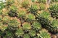 La Palma - Los Llanos de Aridane - Las Manchas - Plaza de Glorieta - Aloe perfoliata 04 ies.jpg