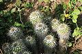 La Palma - Los Llanos de Aridane - Las Manchas - Plaza de Glorieta - Mammillaria 01 ies.jpg