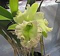 Laeliocattleya Golf Green -香港沙田洋蘭展 Shatin Orchid Show, Hong Kong- (9222654110).jpg