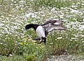 Landing tufted duck (3591957083).jpg