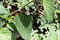 Lantana angolensis -2430 - Flickr - Ragnhild & Neil Crawford.jpg