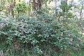 Lantana camara plant DC1.jpg