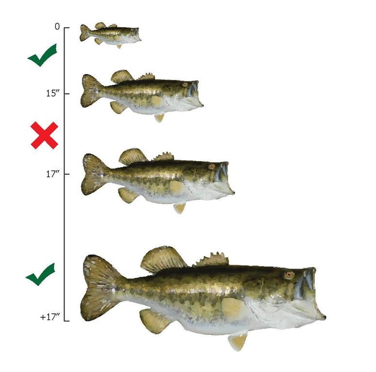 Largemouth Bass Anatomy Choice Image - human body anatomy