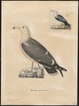 Larus crassirostris - 1700-1880 - Print - Iconographia Zoologica - Special Collections University of Amsterdam - UBA01 IZ17900248.tif