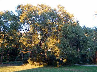 <i>Cinnamomum glanduliferum</i> Species of tree