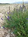 Lavandula latifolia (Vaucluse) (4).jpg