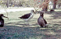 Laysan Albatross and chicks, Midway Island 1958.jpg