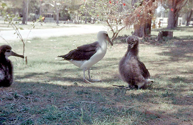 File:Laysan Albatross and chicks, Midway Island 1958.jpg ...