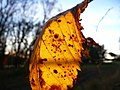 Leaf structure - panoramio.jpg