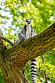 Lemur (39822788000).jpg