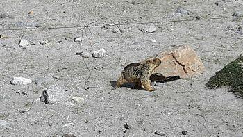 Lemur in Leh ladak 4.jpg
