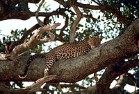 Anatolian leopard resting on a tree