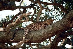 Leopard on the tree.jpg