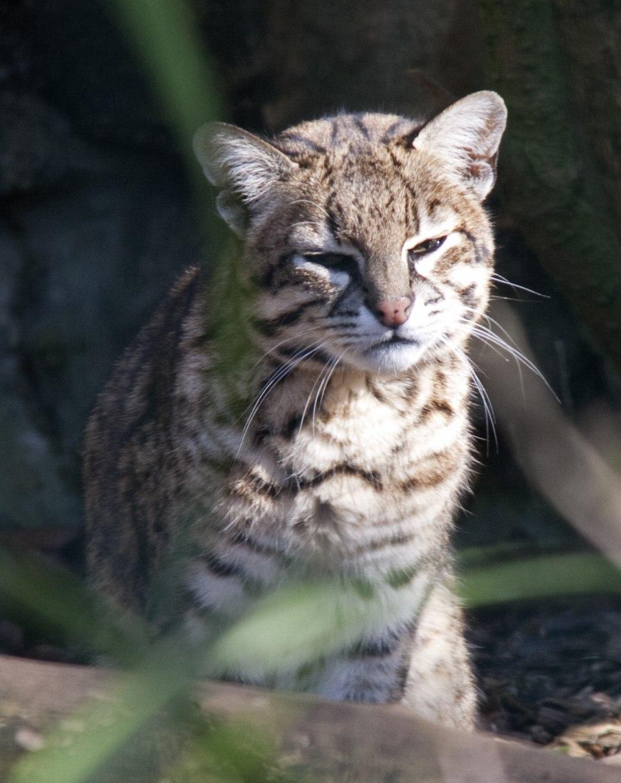 Leopardus geoffroyi -Dudley Zoo, West Midlands, England-8a (2)