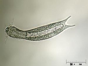 Gastrotrich - Lepidodermella squamata (Chaetonotida)