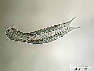Chaetonotida - Lepidodermella squamatum