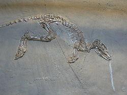Leptictidium auderiense skeleton.JPG