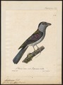 Leptosomus discolor - 1825-1834 - Print - Iconographia Zoologica - Special Collections University of Amsterdam - UBA01 IZ16700267.tif