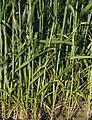 Les Plantes Cultivades. Cereals. Imatge 1792.jpg