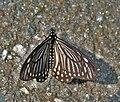 Lesser Mime (Chilasa epycides) at Samsing, Duars, WB W IMG 6425.jpg