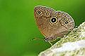 Lethe butleri periscelis male 20140531.jpg