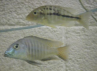 Lethrinops - Lethrinops lethrinus