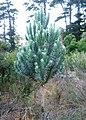 Leucadendron argenteum young Silvertree - Newlands Forest Fynbos CapeTown 2.jpg