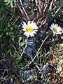 Leucanthemum burnatii 2.jpg