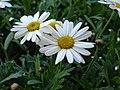 Leucanthemummaximum.jpg