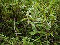 Leucas lanata (7757981404).jpg