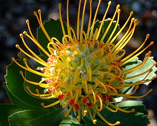 <i>Leucospermum praecox</i> The Mossel Bay pincushion is a shrub in the family Proteaceae from the Western Cape of South Africa