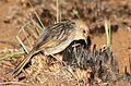 Levaillant's Cisticola, Cisticola tinniens at Suikerbosrand Nature Reserve, Gauteng, South Africa (15166281141).jpg