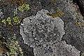 Lichen (29561921347).jpg