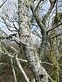 Lichen covered bark - geograph.org.uk - 411706.jpg