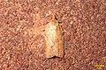 Light-brown apple moth (ex garage) (12788643824).jpg