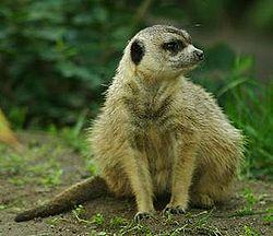 Lightmatter meerkat2.jpg
