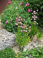 Lilium martagon & Paeonia arietina.jpg