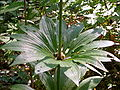 Lilium martagon leaves.JPG